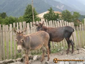 Gruzja - Swanetia. Słuszne stwierdzenie Mietka - dwa osły już tu są.