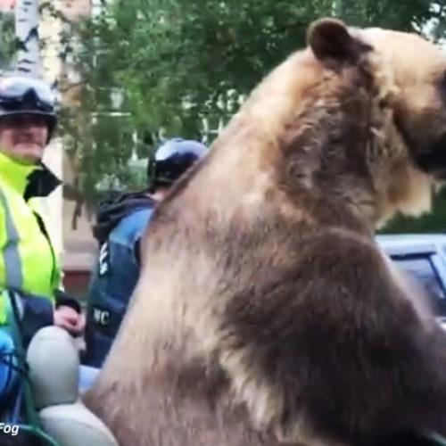 Niedźwiedź na motocyklu