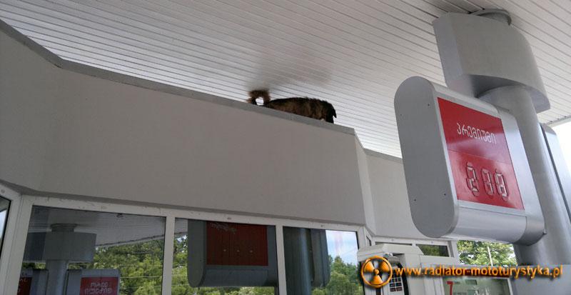 Gruzja - na dachu stacji benzynowej groźny pies