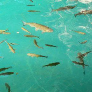 Do Albanii 2009 - ryby żebraki w Parku Narodowym Plitwickie Jeziora w Chorwacji