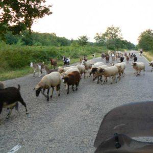 Wyprawa motocyklowa do Grecji - 2008 - Bułgaria - owce na drodze